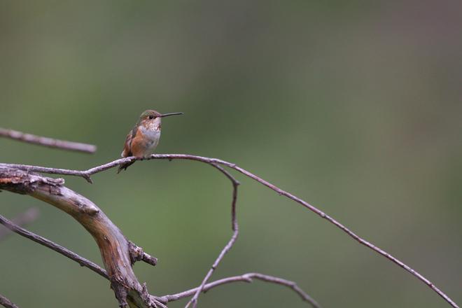 カナダ探鳥 オカナガン